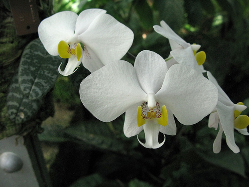 Растения из Тюмени. Краткий обзор - Страница 7 Phalaenopsis%252520philippinensis%2525201