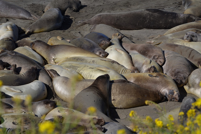 huge pile of female elephant seals
