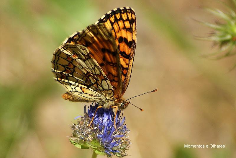 Euphydryas aurinia, borboleta, Portugal