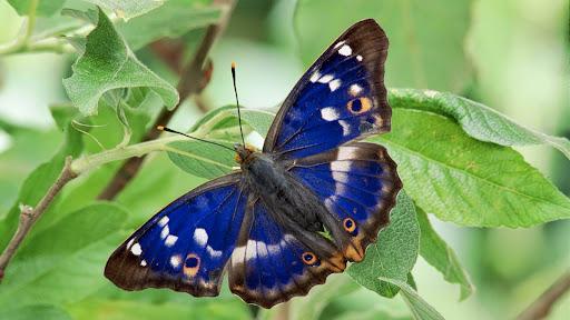 Lesser Purple Emperor Butterfly.jpg