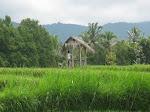 Banyuatis: rizières à Banyuatis