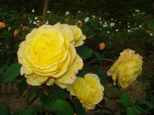 Rose a Kasteeltuinen di Arcen