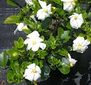 Όμορφες γαρδένιες στον κήπο σας