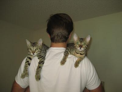 Bengal Kittens on Shoulder