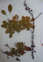 Berberys zwyczajny okaz zielnikowy Berberis vulgaris