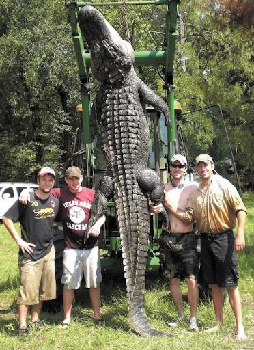 Questões e Fatos sobre Crocodilianos gigantes: Transferência de debate da comunidade Conflitos Selvagens.  - Página 3 Alligator%2520410cm%2520e%2520510kg