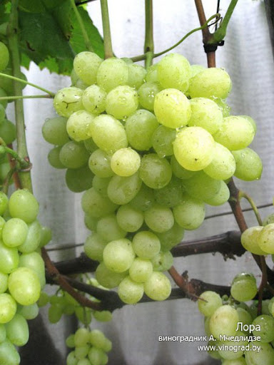 Сорта винограда 6