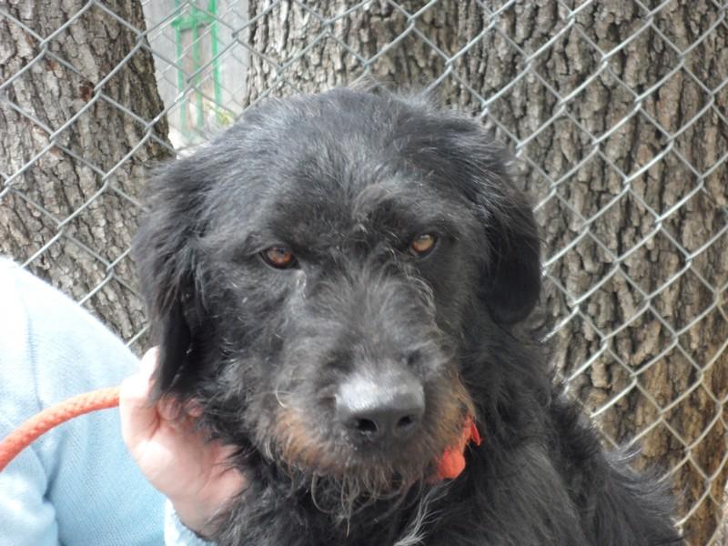 FILOU  - croisé Griffon / Labrador 11    ans (9 ans de refuge) -  Refuge de SISTERON  (04) SAM_0625