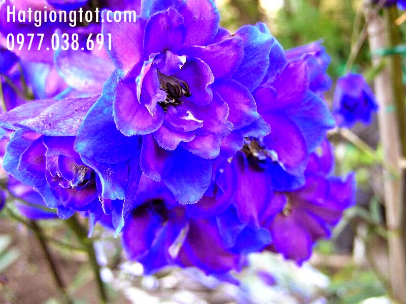 Hạt giống hoa violet