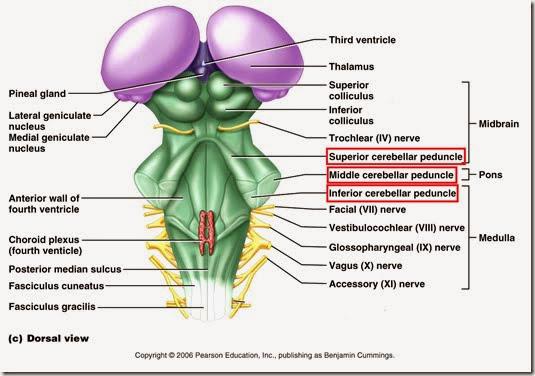 小腦腳(Cerebellar peduncle) - 小小整理網站Smallcollation