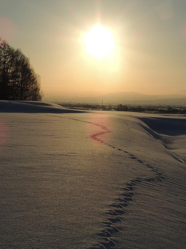 金色の朝とキタキツネ・金色に輝く雪原