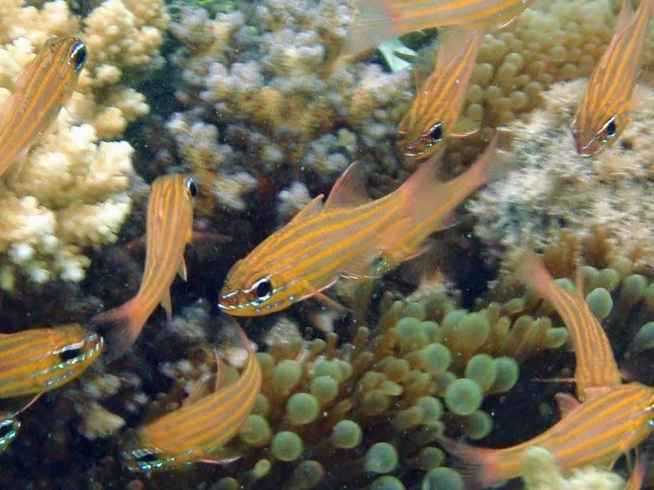 Apogon cyanosoma (Yellowstriped Cardinalfish), Naigani Island, Fiji.