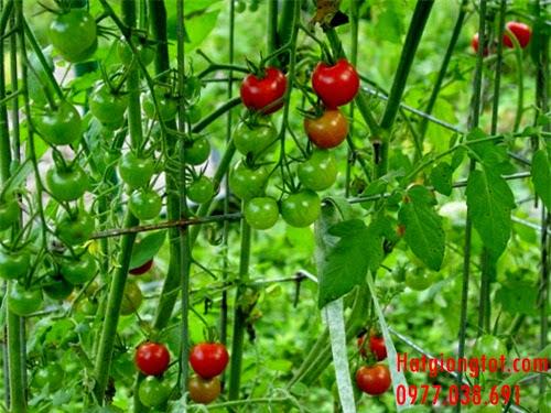 Hạt giống cà chua cherry