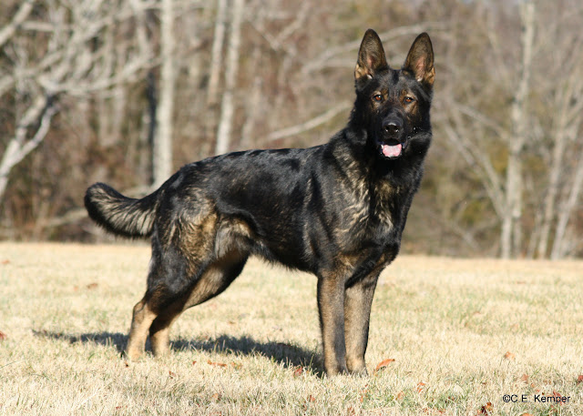 Astur, a large female sable GSD,  shiny and healthy and happy
