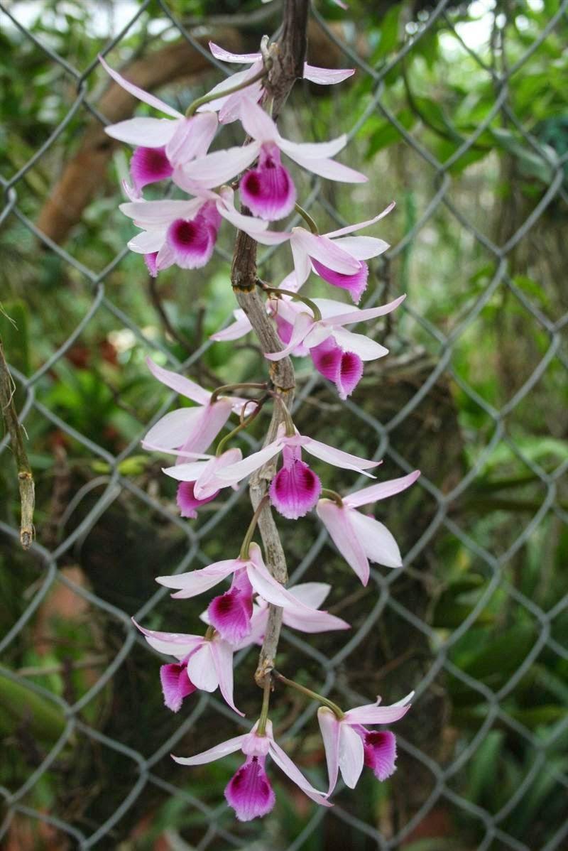 Phi điệp tím có nhiều mặt hoa tùy theo giống được phân bố tại vùng nào