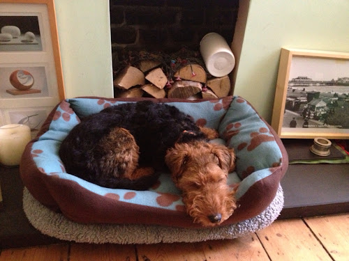 Sleepy Welsh terrier