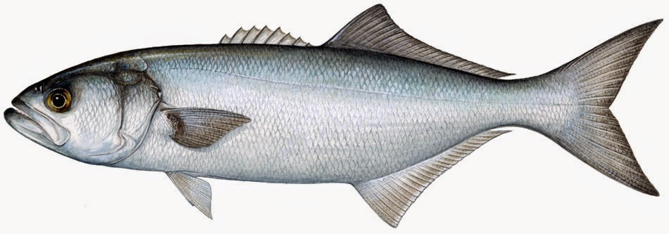 lufer fish