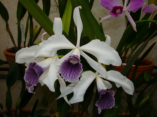 Растения из Тюмени. Краткий обзор - Страница 4 Laelia%252520purpurata%252520Werkhauseri
