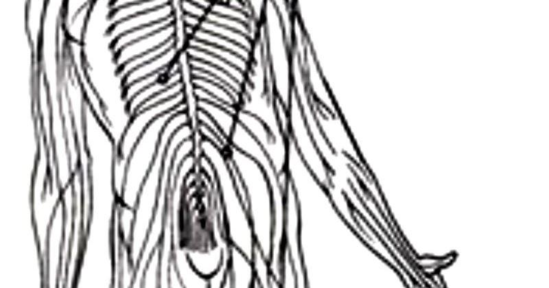 pinto dibujos sistema nervioso con nombres para colorear