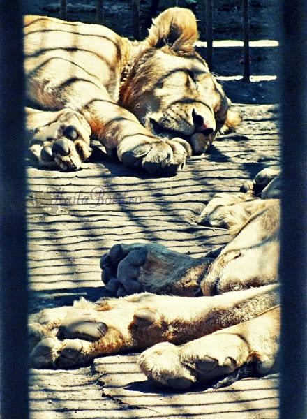 leu zoo radauti