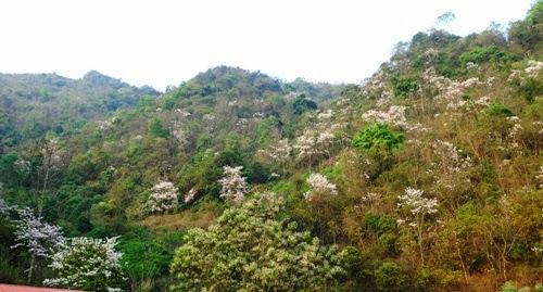 thang 3 hoa ban ve tren thao nguyen xanh moc chau1 Tháng 3 – mùa hoa ban về trên thảo nguyên xanh Mộc Châu
