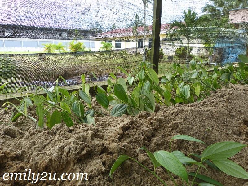 Sarawak pepper