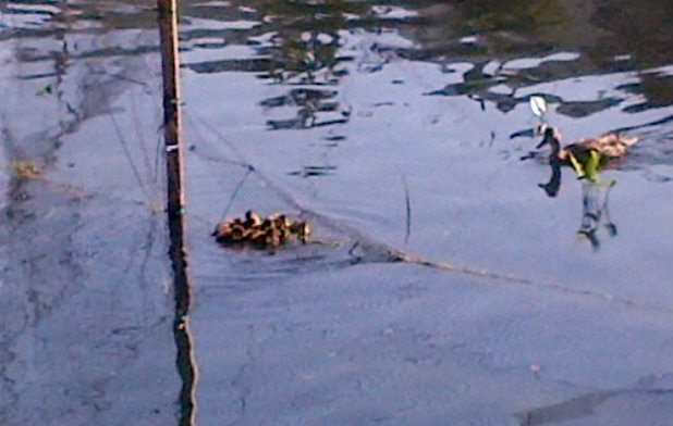 Echo Park Lake, ducks