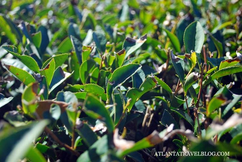 Charleston Tea Plantation