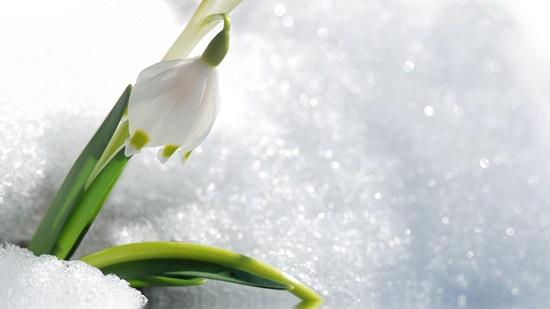 hoa xuyên tuyết trắng