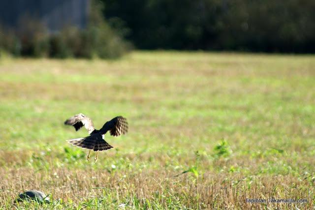 varpushaukka kyyhkyjahti Accipiter nisus