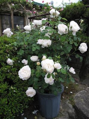 Một chậu hoa hồng 'Glamis Castle' rose đẹp
