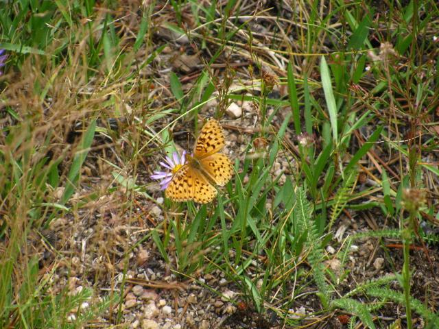 yellow-orange butterfly on a purple flower