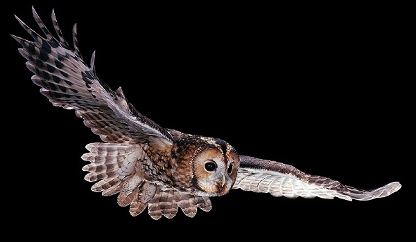 Image of: Facts Dangerous Of Wild Animals Bloggercom Dangerous Of Wild Animals Tawny Owl