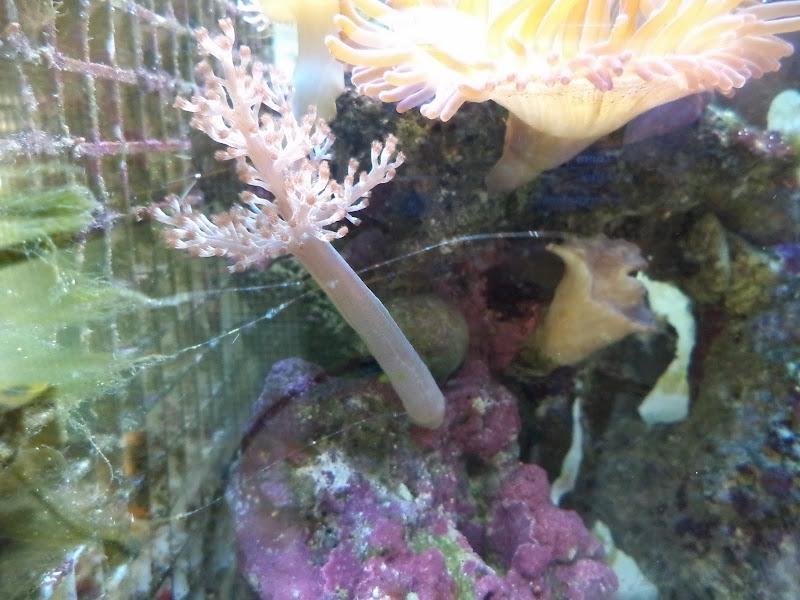 Capnella imbricata (Kenya Tree Coral) DSC00114