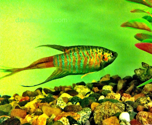 photo of a longfin paradise fish in a tank with rocks and the leaves of a plant.