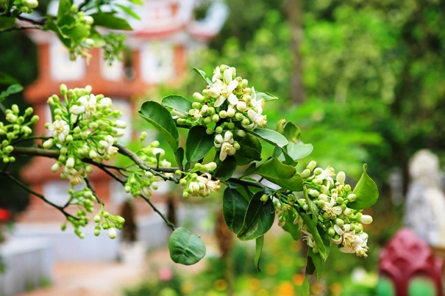 ảnh cành hoa bưởi nở trắng đẹp