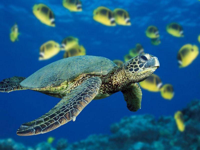 Biologia marina la rotta delle tartarughe di mare for Tartarughe di mare domestiche