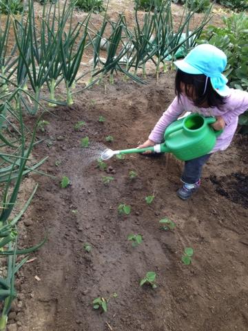枝豆に水をあげる幼児