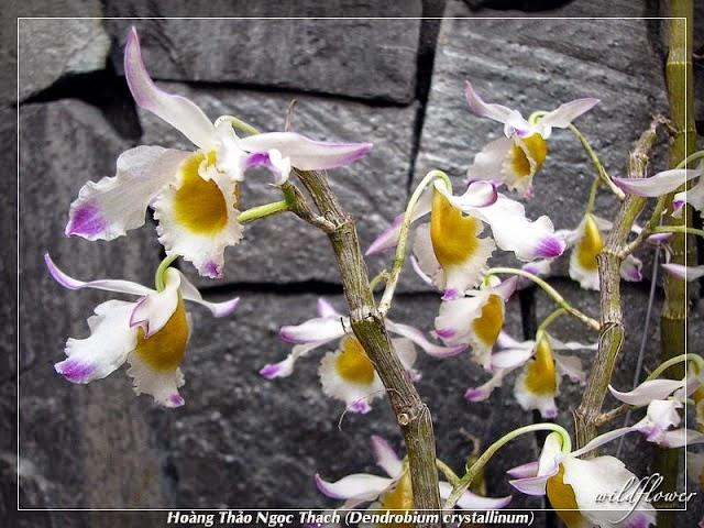 Hoàng thảo ngọc thạch có hoa sặc sỡ