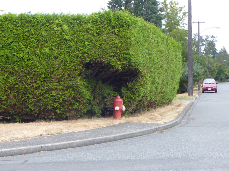 Heart-shaped hedge-hole for a fire hydrant – Victoria, BC (photo by Stephen Lund)