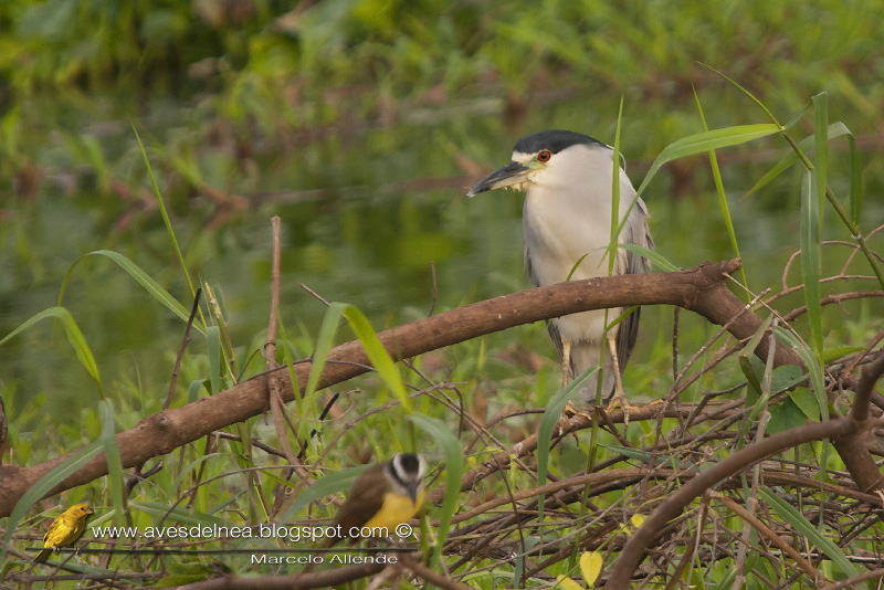 Garza bruja (Black crowned night heron) Nycticorax nycticorax