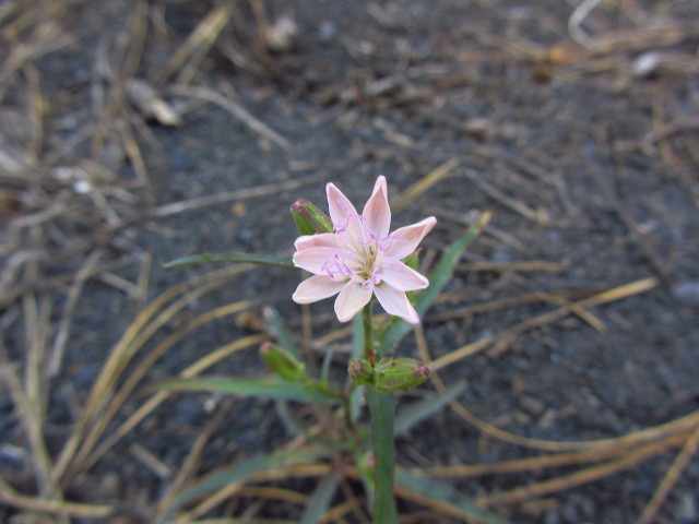 little pink flower with 9 long, pointed petals