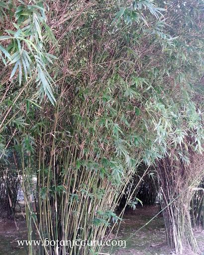 Bambusa multiplex, Chinese Bamboo