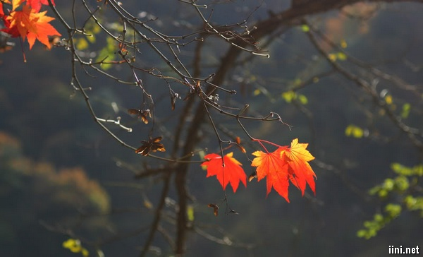 ảnh cây lá phong trong mưa mùa thu