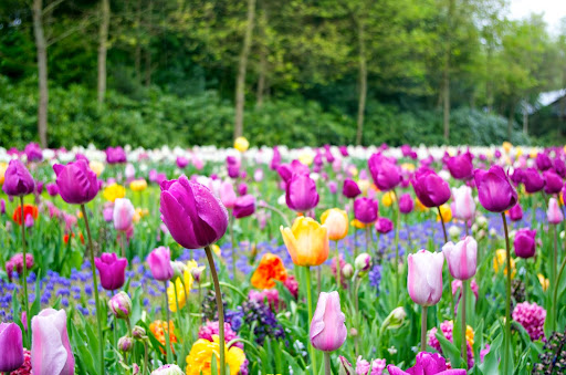 tulip_violet