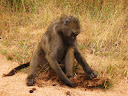 Another baboon digging through poop.