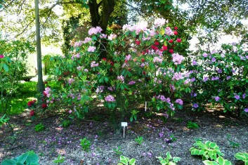 Rododendron Smirnowa Rhododendron smirnowii