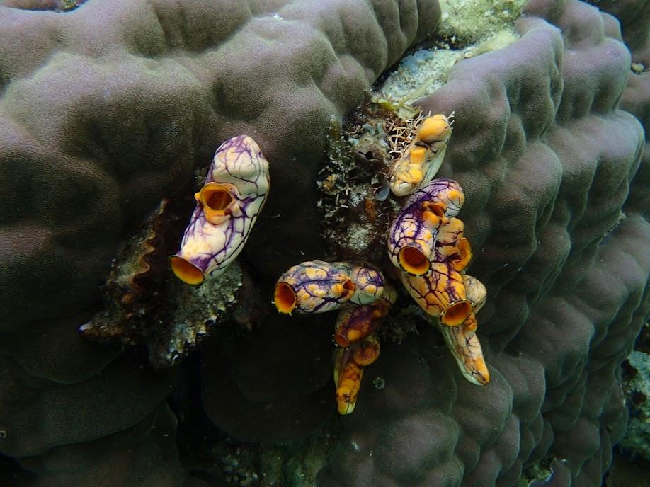 Polycarpa aurata (Goldmouth Sea Squirt), Sand Island, Palawan, Philippines.