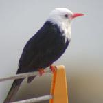 Bulbul negro / Foto: Jeanette Lindkvist, Ann Mari Thorner (Cala Sant Vicenç, Mallorca, 2007)