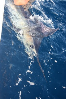 Another Marlin